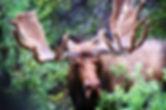 AK Moose 179.jpg