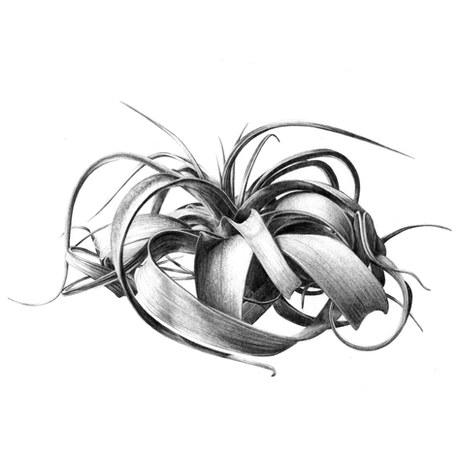 Tillandsias, illustrations botaniques