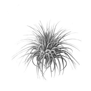 tillandsia_ionantha_graphite_R_carré_.