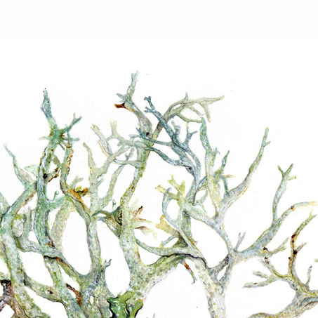 Evernia prunastri