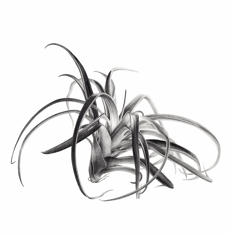 New_tillandsia_carré_COMP_NBneutre_edite