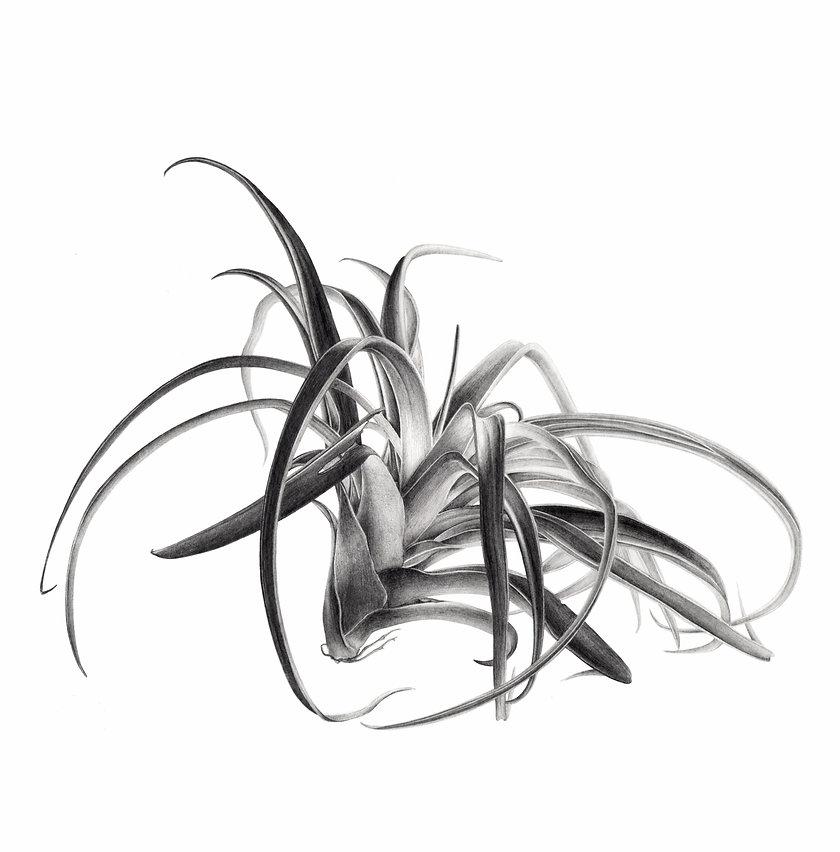 New_tillandsia_carré_COMP_NBneutre_edite