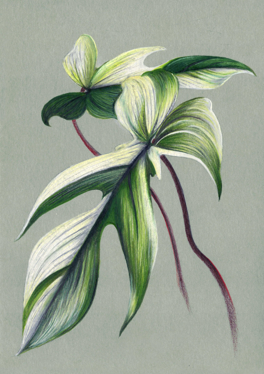Philodendron florida variegata