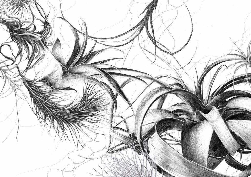 TILLANDIAS drawing project COMPRESSEE.jp