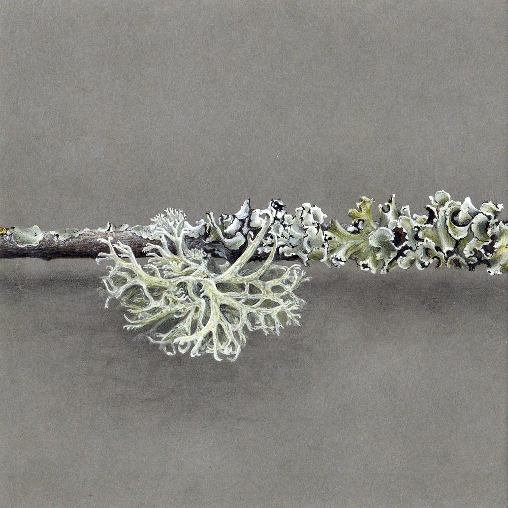 illustration botanique, dessin botanique aquarelle réaliste et précis