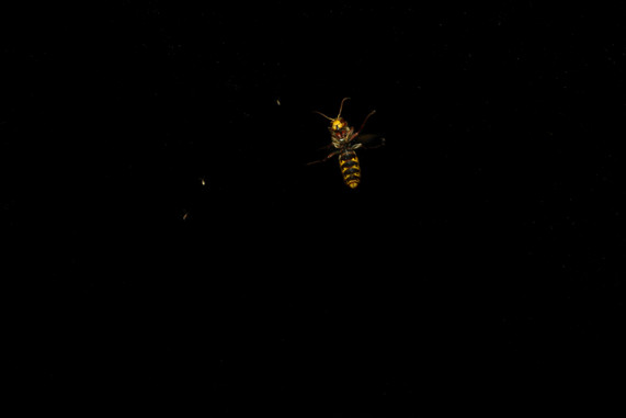 frelon hornet nuit insecte photography night darkness entomology art sciart