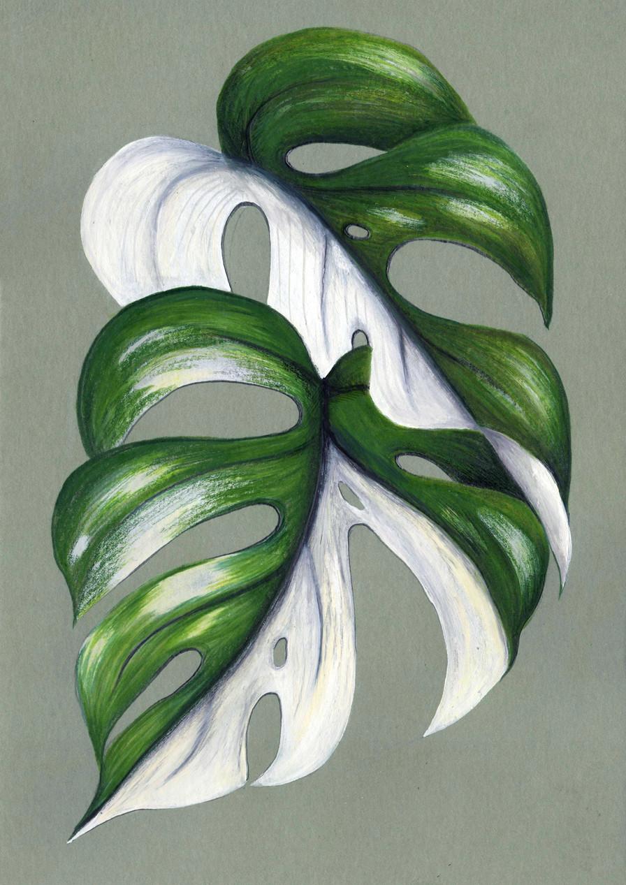 Raphidophora tetrasperma variegata
