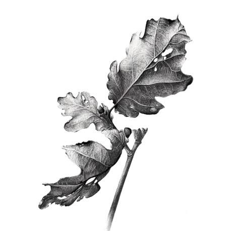 Quercus x rosacea