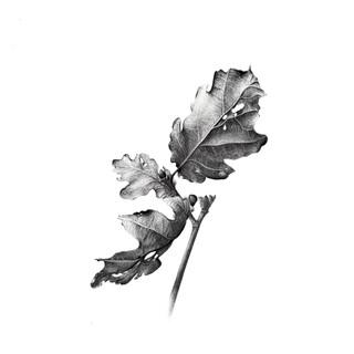 2 DEF scan feuille chene graphite NB.jpg