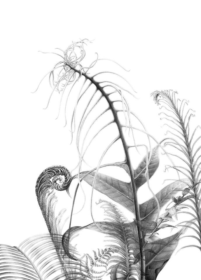 Ferns Botanical Illustration illustrator graphite drawing Royal Botanic Garden Edinburgh RBGE UK illustration fougères dessin