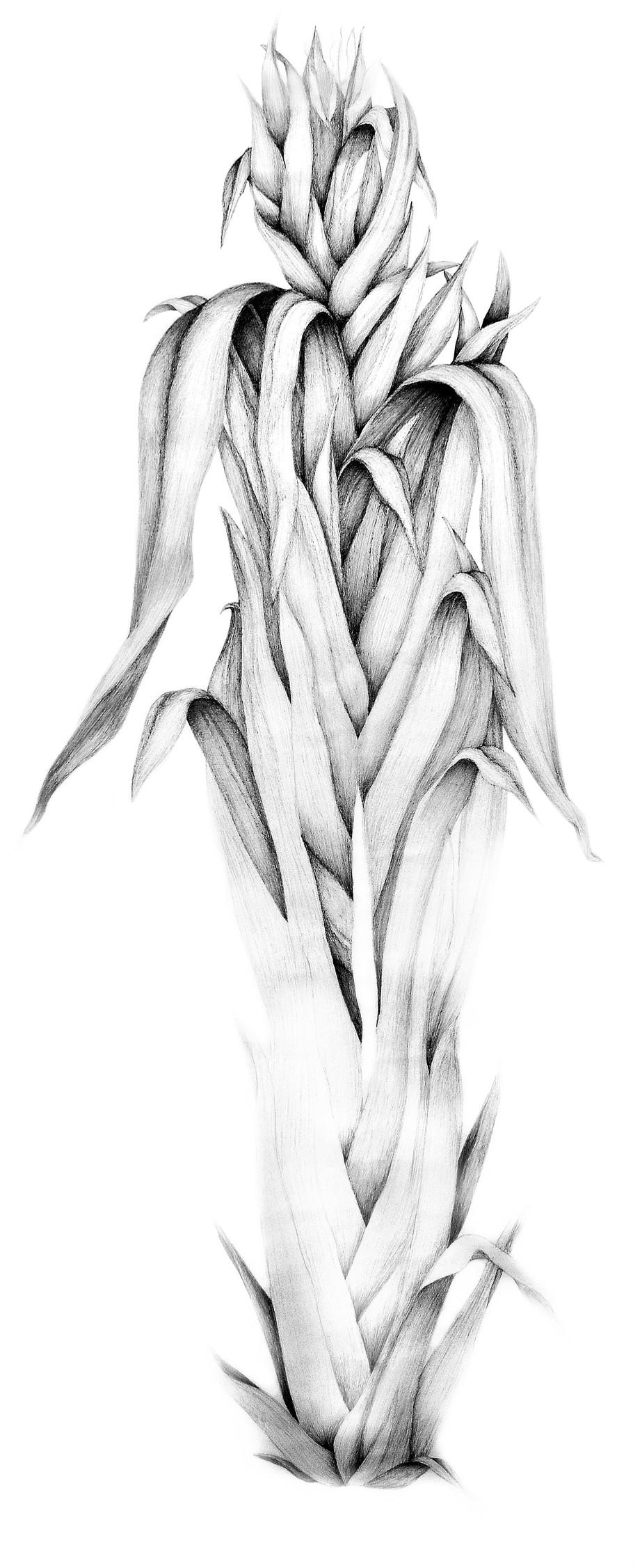 autoportrait phormium tenax RRR.jpg