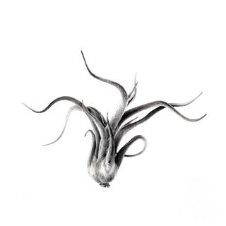 Tillandsia Caput Medusae 1 3R.jpg