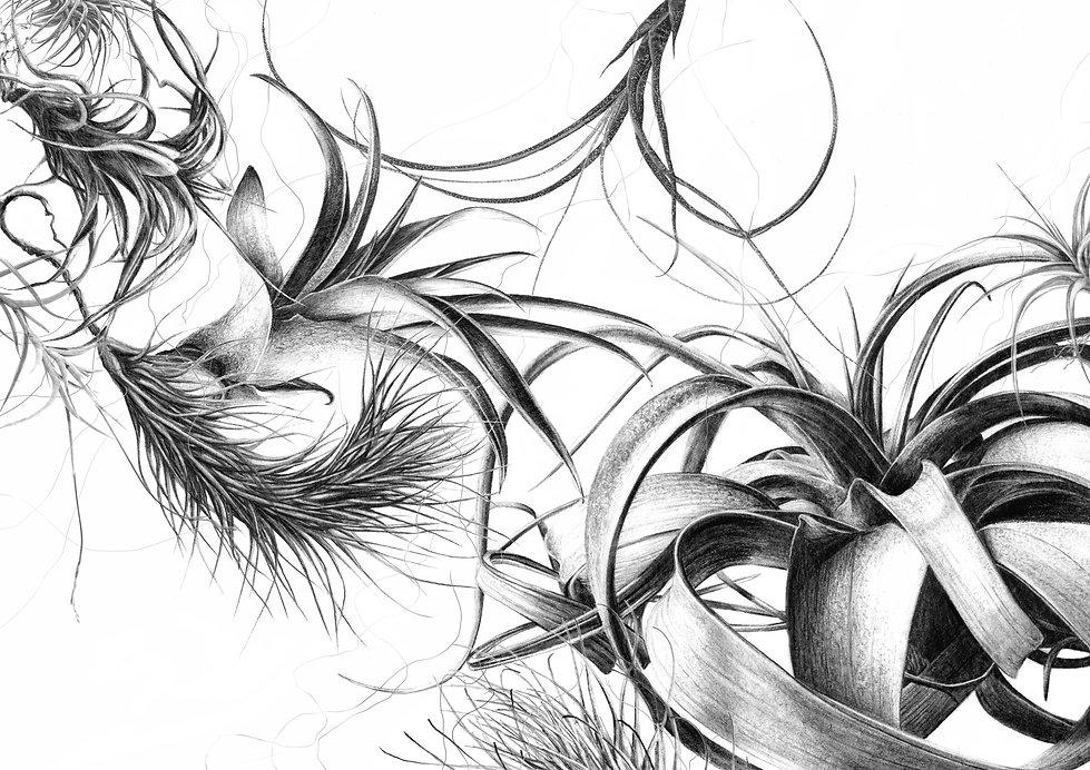 Tillandsias illustration, botanical illustration, contemporary botanical artist, french illustrator