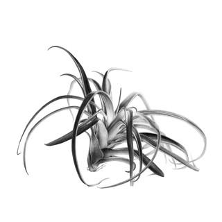 2DEFV_New_tillandsia_carré_copie.jpg