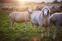 sheep in field