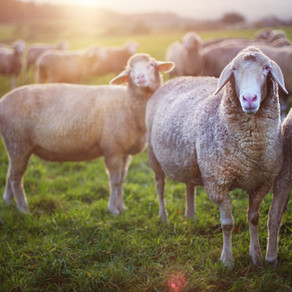 How Can Isotope Testing Help Fight Livestock Theft?