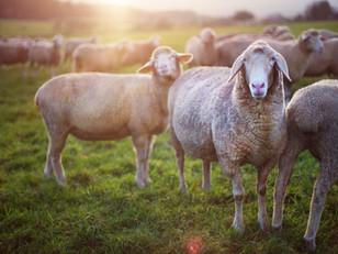 4 Livestock Breeding Best Practices to Implement in Your Herd — or Flock!