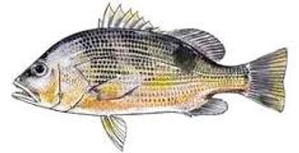 Golden Snapper fishing charters Darwin Northern Territory Australia