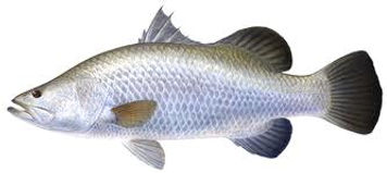 Darwin Barramundi Fishing charters Northern Territory Austraila