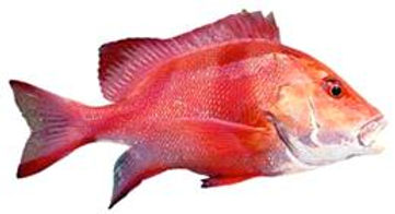 Red Empror are caught around Dundee Beach on Darwin fishing charters Australia