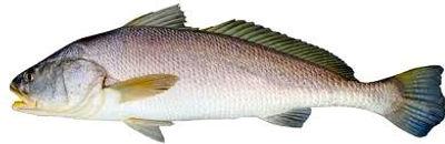 Northern Territory Jewfish caught on fishing charter Darwin in the Top End Australia fishing charters Darwin