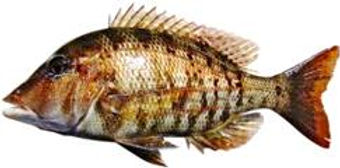 Tricky Snapper are caught on our Darwin fishing charters at Dundee Beach Northern Territory