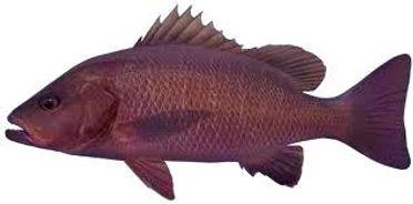 Jacks are caught around Darwin fishing charters in the Northern Territory Australia