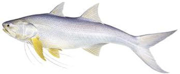 Darwin fishing charters for Threadfin salmon Australia  fishing charters Darwin Northern Territory