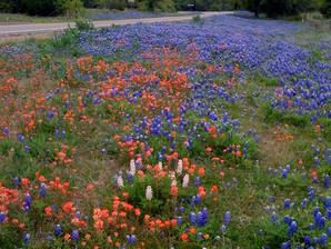 Texas Wildflowers 2014