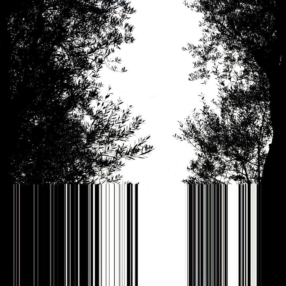 ulivi in controluce, codice a barre, bianco e nero