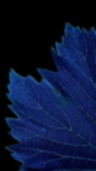 particolare di foglia virata in blu per evidenziare al meglio le venature - foglia di vite