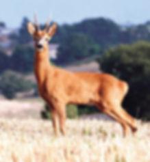 Guide professionnel de chasse, sud de la France. Chasse du chevreuil et du brocard.
