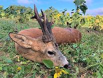 Voyages de chasse approche chevreuil sud-ouest