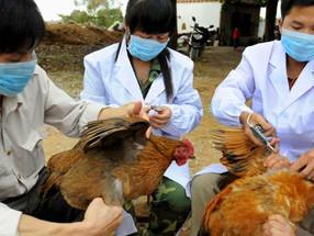 La gripe de la polla