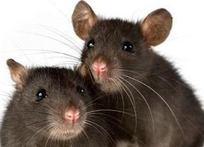 La lengua de las ratas