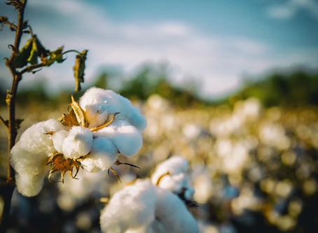 La fleur de coton BIO