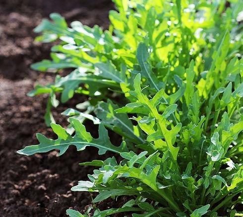 Arugula plant growing in organic vegetab