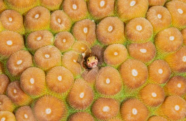 Spinyhead blenny Barbados