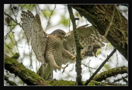 Sparrowhawk with kil