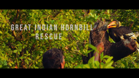 The great indian hornbill rescue.jpg