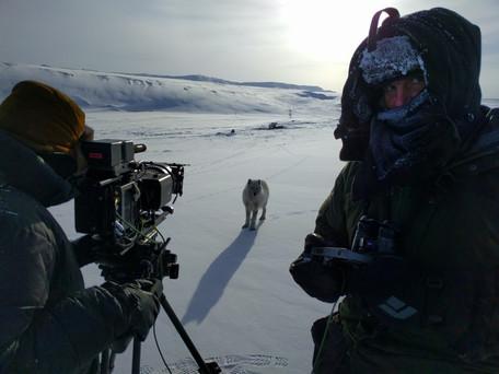 Young_arctic_wolf_at_-40°C.jpeg