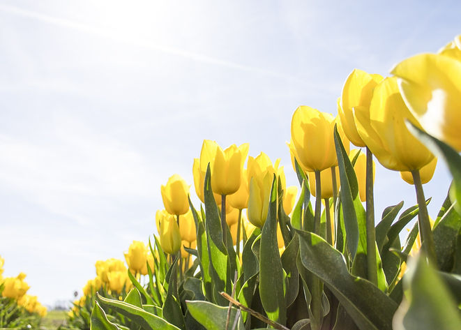 yellow-tulip-flower-field-during-daytime
