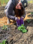 carissa planting.jpg