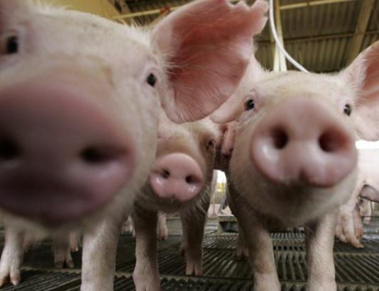 Avanza la negociación con China para la instalación de granjas porcinas