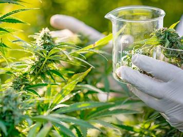 """El CONICET impulsa la """"Diplomatura en Cannabis y sus usos medicinales"""""""