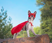 cute french bulldog in a super hero cost