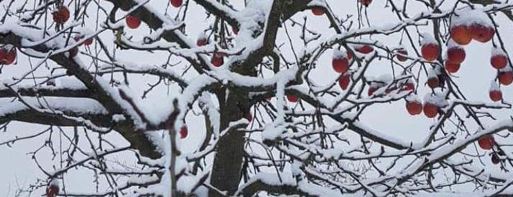 Winteraepfel.jpeg