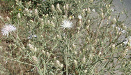 diffuse-knapweed-new.JPG