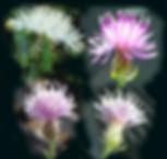 knapweed-flowers-variations.jpg