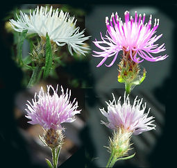 knapweed-flowers-variations.jpg